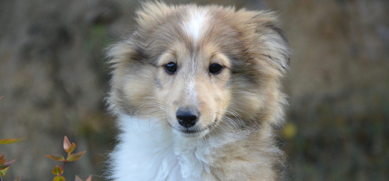 puppy-2656337_1920